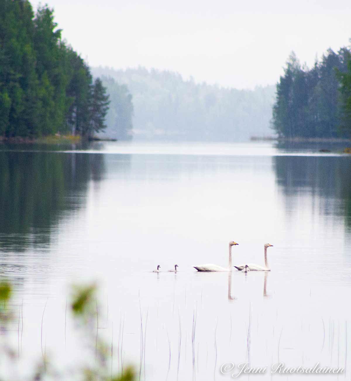 Joutsenperhe kesäkuussa järvellä