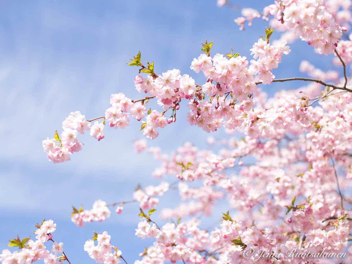 Kirsikankukat toukokuussa