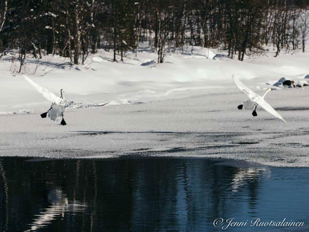 Joutsenet Lapissa järvellä marraskuussa