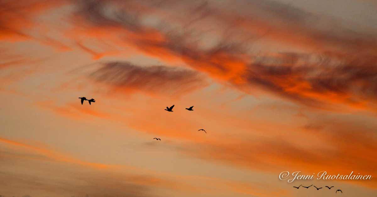 Oransssi taivas, muuttolinnut